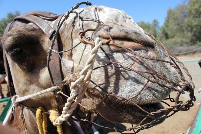 el camelios